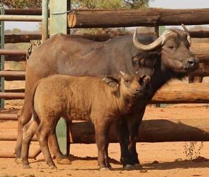 IVF Cape Buffalo