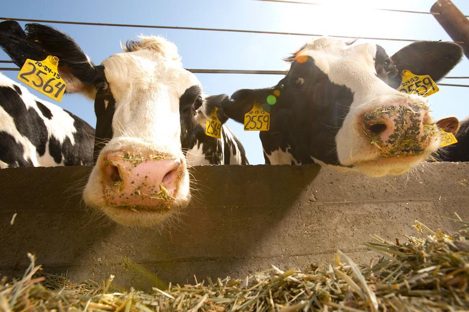 Holstein cattle (Gregory Urquiaga/UC Davis)