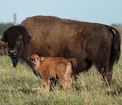 World's first IVF Cape buffalo calf